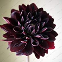 Rare Black with Red Dahlia Seeds Beautiful Flowers Seeds Dahlia Pinnata for DIY Home Garden - 100 PCS