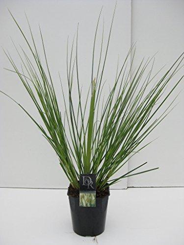 Garten-Pampasgras Geeignet als Kübelpflanze oder für Steingärten