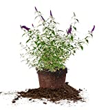 Perfect Plants Black Knight Butterfly Bush Fast Growing Extraordinary Purple Flowers, 3 Gal, Low Maintenance
