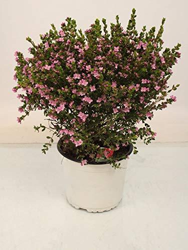 Zimmerpflanze von Botanicly – Boronia Crenulata Bush – Höhe: 40 cm