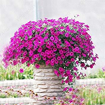 VISTARIC MIX: 200 Graines Petunia Hanging rares semences de plantes ornementales Graines de fleurs Black Eye fleur pourpre avec bord blanc Maison Jardin des Plantes