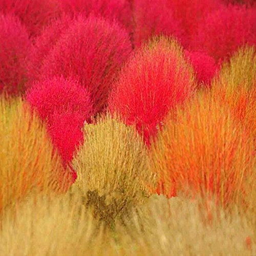Les graines de Kochia, Burning Bush Herbe, Rapid Cultivez Hardy, Summer Cypress - 50 pcs / lot