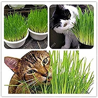 。 200種/バッグ猫草の種子ホームガーデンラブリー葉植物の花の種屋内盆栽フラワーポットプラント新Semente小麦の種子