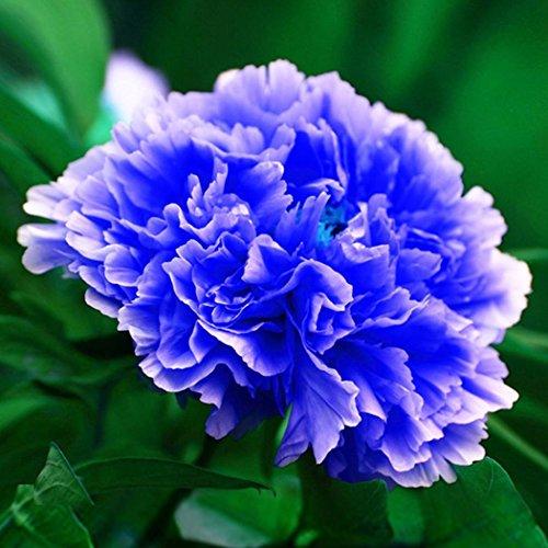 Ncient 10 pcs/Sac Graines Semences de Fleurs Pivoine de Chine, Fleurs Seed Plantes Vivaces Arbres à fleurs Plante Rare Bonsaï de Jardin Balcon