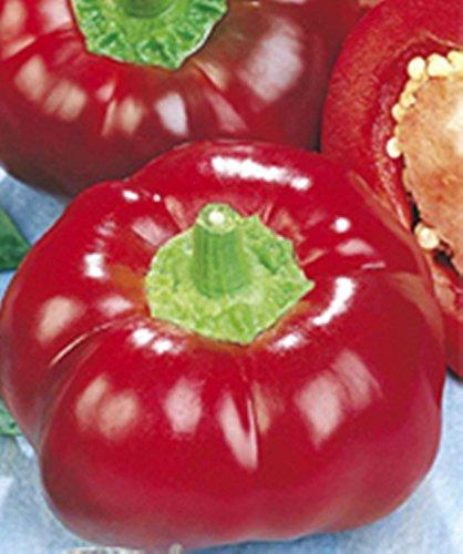 Graines rouge doux Poivron Novogogoshary légumes Heirloom culture biologique