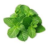 300 graines Aromatiques - MENTHE Verte - Mentha Viridis