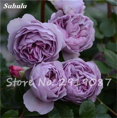 200 Pcs rares couleurs mélangées Graines Rose Rainbow Rose Belles fleurs grimpantes Bonsai graines de plantes pour jardin Décor bateau libre 16