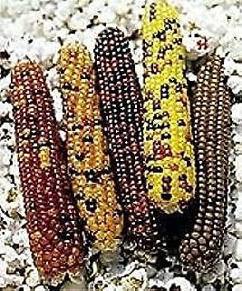 Vegetable Seeds - 100 Seeds of Cutie Pops Popcorn - Multicolored Miniature
