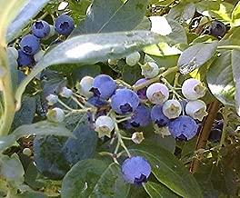 Jersey, Rabbiteye, Heirloom Mix Blueberry Seeds 3 Pack