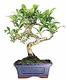Bonsai - Ficus, 6 Años (Bonsai Sei - Ficus Retusa) (Terraza y Jardín)