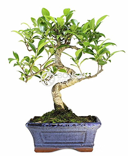 Bonsai - Ficus, 6 Años (Bonsai Sei - Ficus Retusa)
