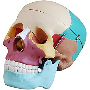 66fit Life Size Human Skull Anatomical Model Painted Bones - Medical Training Teaching Aid