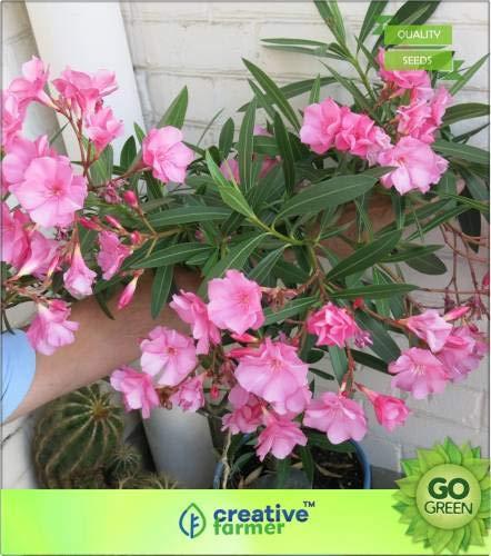 FERRY Hohe Wachstum Seeds Nicht NUR Pflanzen: Seed Nerium Ältere (Laurier-Rose) Seed (20 pro Paket)