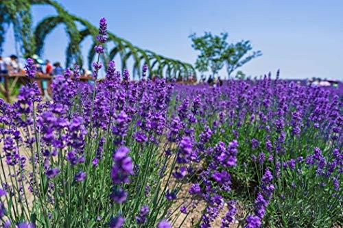 Semi di lavanda inglese Vera Herb Flower Seeds (10g = 10000) Semi di piantagione all'aperto (Lavandula angustifolia Mill)