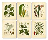 Ink Inc. Classic Common Kitchen Spices Vintage Botanical Prints Wall Art – Set of 6 – Black Pepper, Turmeric, Cumin, Cayenne Pepper, Cinnamon, Saffron – 8x10 Unframed