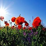 Power Couple - Semi di papavero e salvia sclarea mescolare tutto il mix di semi di fiori selvatici perenni
