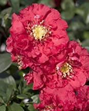 Double Take Chaenomeles `Pink Storm` PPAF- Flowering Quince - Proven Winners
