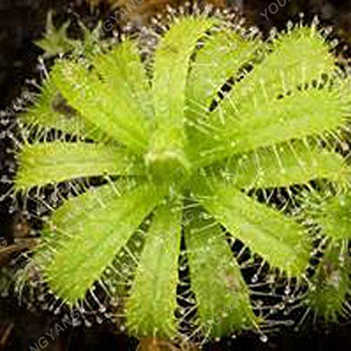 50 Pcs Jardin Plante en pot Flytrap Graine Bonsai Dionaea géant clip Graines Dionée Plante carnivore graines de plantes multicolores