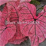 GEOPONICS GRAINES: Bonsai 100 Pcs Multicolor Caladium Caladium Bonsai Lumineux Feuille Fleur Plantes d'intÃrieur Bonsai Colocasia Plante en pot pour la maison: h