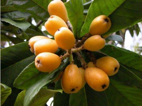 Cimelio organici 8 Semi Nespolo albero arbusto sempreverde Semi di frutta gialla di frutta giapponese Nespolo Chainese Plum Japonica Eriobotria T008