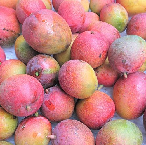 沖縄県産フルーツ 濃厚完熟アップルマンゴー訳あり家庭用1kg