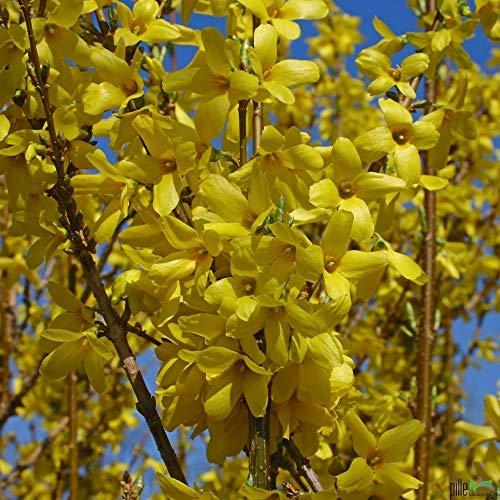 Forsythia Week End Forsythie gelb Zierstrauch Frühlingsblüher versch. Größen (60-80 cm)