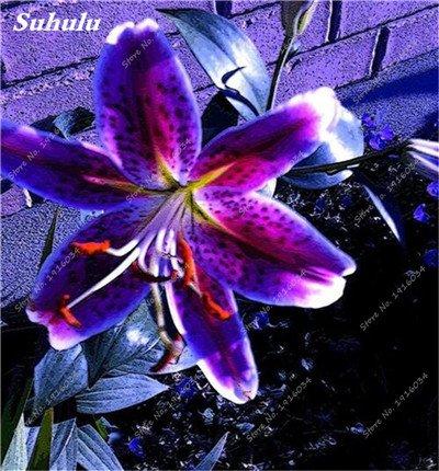 50 Pcs parfum Lily Graines, Graines de plantes d'intérieur, Germination Fleur 99% Creepers Bonsai Bricolage Fournitures Jardin Pots Planters 16