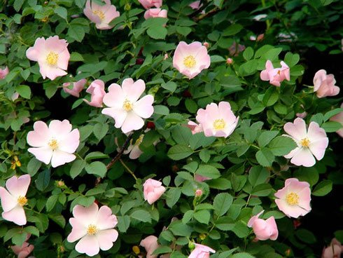 Rosa canina 25 Graines (Graines Rose sauvage, Graines Rose Dog) Rose plante
