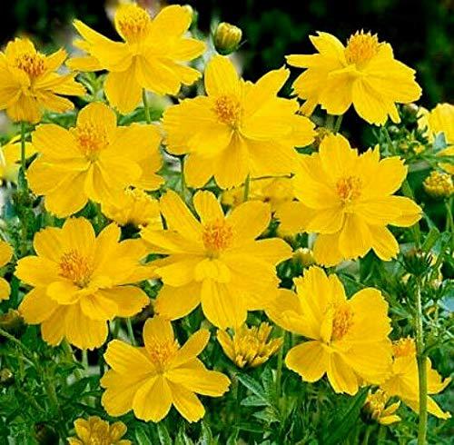 LGKO Cosmos s-e-e-d, Yellow Sunshine, Sulfur Cosmos, Taller Variety, s-e-e-ds 50s-e-e-ds
