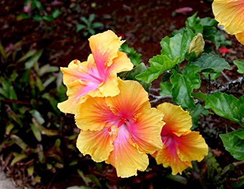 Gbrand 100+ Rare Hibiscus Seeds Flower Garden Home Perennial Plants