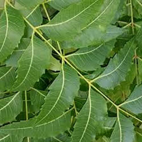 Neem Tree Seeds Azadirachta Indica Tree nimtree Indian Lilac Margosa Tree Seeds Neem Oil TreeNeem Hierba Árbol Semillas - 20