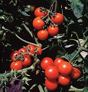 David's Garden Seeds Tomato Cherry Washington 5764 (Red) 50 Non-GMO, Organic Seeds