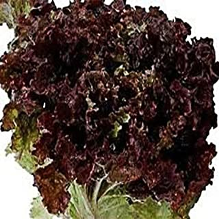 Todd's Seeds - Ruby Leaf Lettuce Seed - 2g Seed Packet