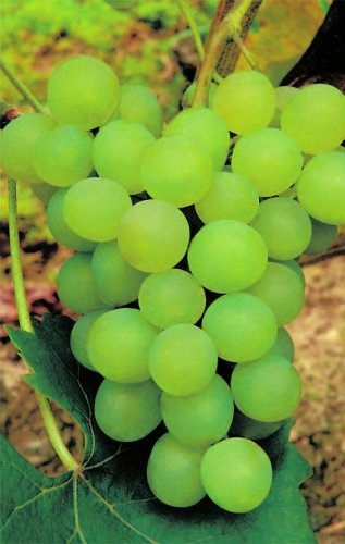 Vitis vinifera Phoenix weiße Weinrebe (Abkömmling der Bacchusrebe) veredelt Preis nach Größe veredelt mit Neuaustrieb