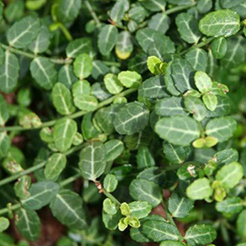 3 x Euonymus Fortunei 'Minimus'- Fusain persistant 'Minimus' 15-20 cm en conteneur