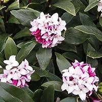 沈丁花(ジンチョウゲ)赤花 4~5号ポット