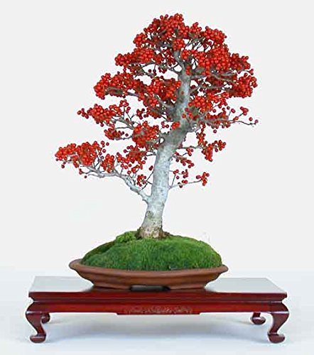 Ilex aquifolium acebo común * Bonsái 10 Semillas Evergreen increíble * Raras