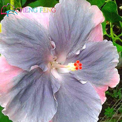 Hibiscus géant exotiques Coral Fleurs 200 graines mélanger les couleurs rares Livraison gratuite