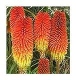 Fackellilie - Kniphofia Crown - Blume - Raketenblume - 50 Samen