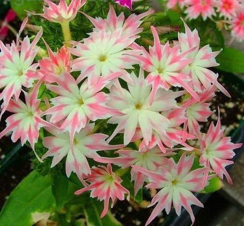 Zwerg Twinkle Phlox Samen, 70 Stück