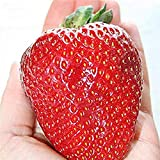 Semi sellify Egrow 100Pcs gigante rosso fragola Heirloom Super Seeds Giappone Strawberry Garden