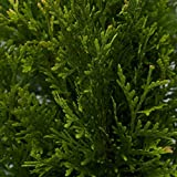 Plants by Mail 55243FL Green Giant Arborvitae, 2.4 gal