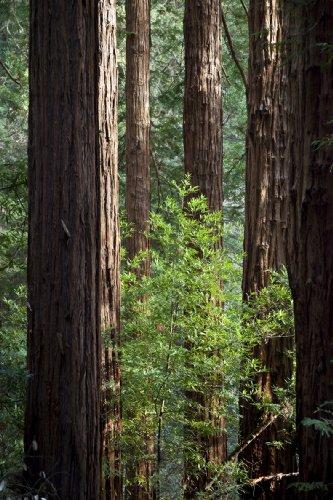 Seedeo Küsten - Mammutbaum (Sequoia sempervirens) 70 Samen
