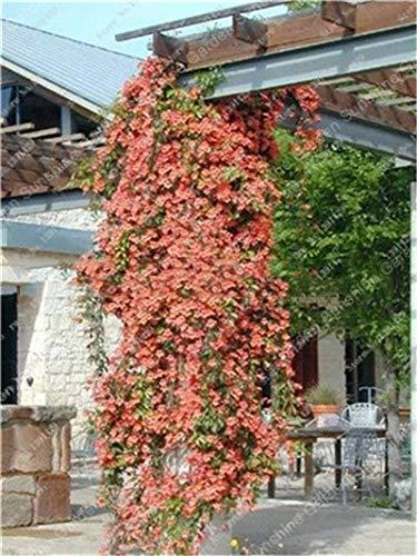 GETSO 1 PC/Tasche Clematis Birnen Bonsai sementes' Indoor Blumen Klematis Spalier Clematis Pflanzen Live-Blumen-Flor: 7