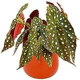 Begonia Maculata | Planta en Maceta para Interiores de Casas u Oficinas (20-30cm Maceta Incluida)