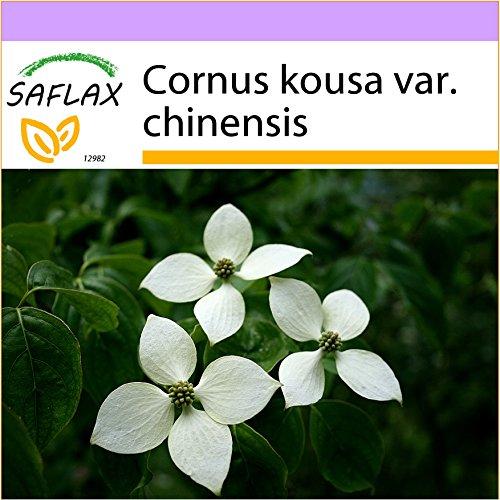 SAFLAX - Asiatischer Blüten - Hartriegel - 30 Samen - Cornus kousa