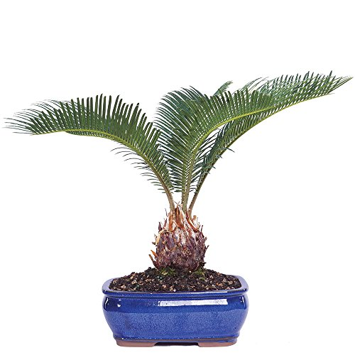 Brussel's Live Sego Palm Indoor Bonsai Tree - 7 Years Old; 8' to 12' Tall with Decorative Container