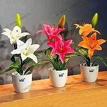 kaffir lily for sale
