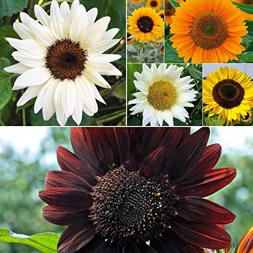 tomgarten Volmary Saatgut White Yello Orange Moulin Rouge Set Garten Pflanzen Blumenpracht Sonnenblumen Stars