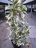Euonymus japonicus Chollipo - Spindelstrauch Chollipo